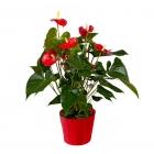 Planta de Anturium